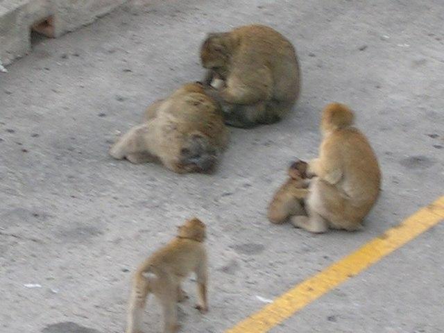 Monos de Gibraltar